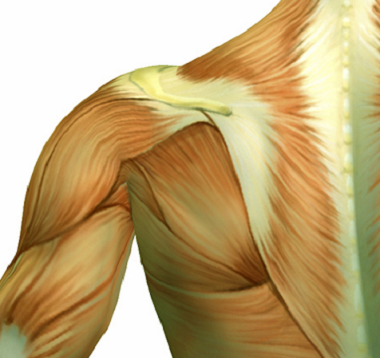 Upper Back (Thoracic Spine)